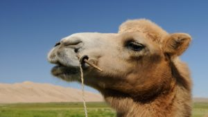 camel-692661_1280